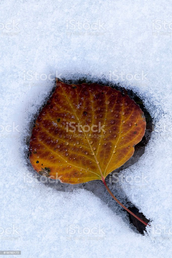 Leaf in Snow stock photo