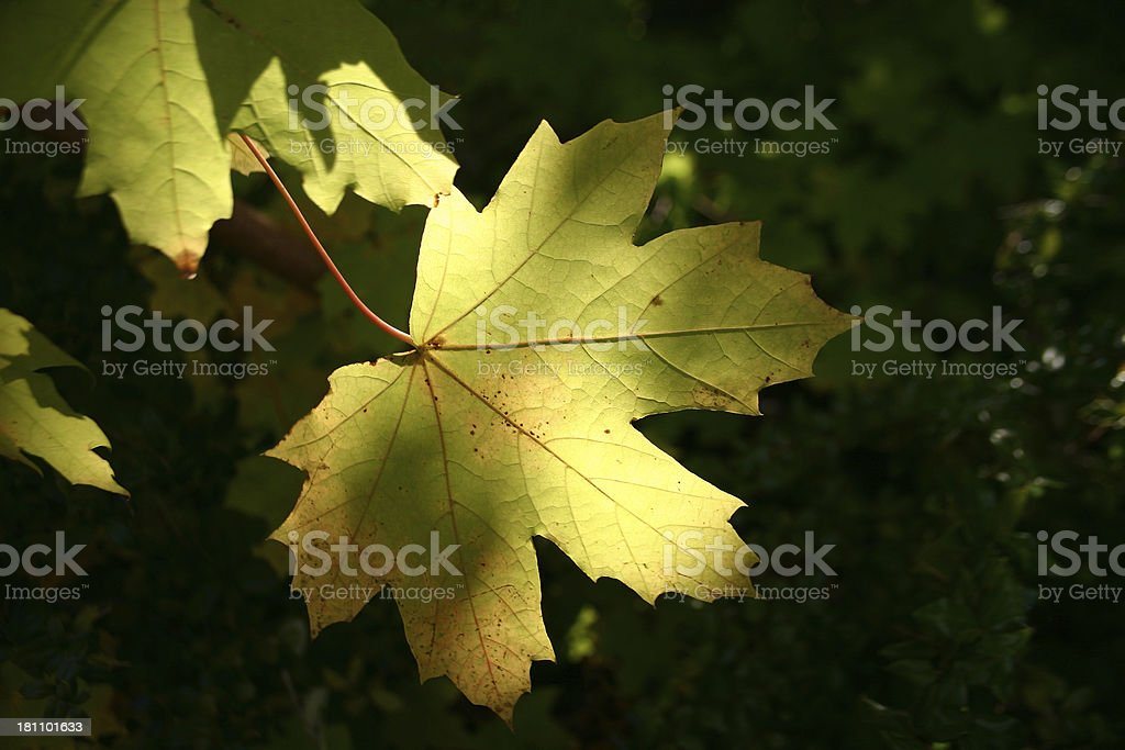 leaf in sunlight royalty-free stock photo