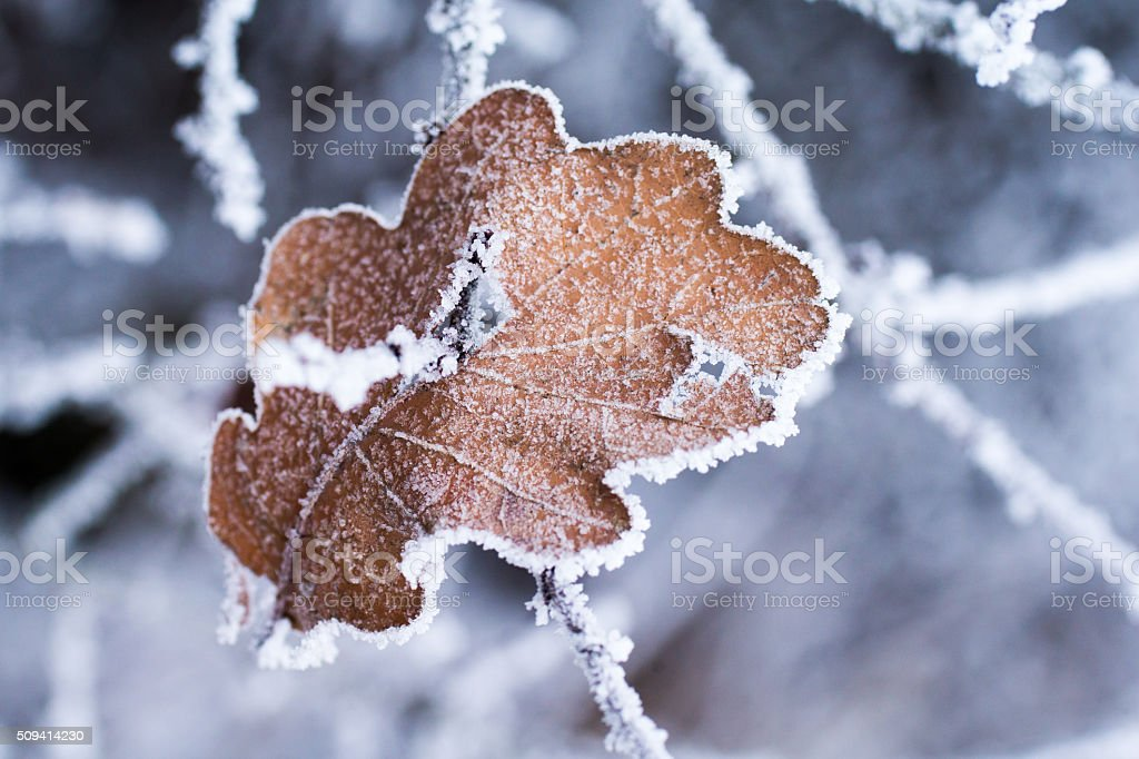 Leaf in the winter stock photo
