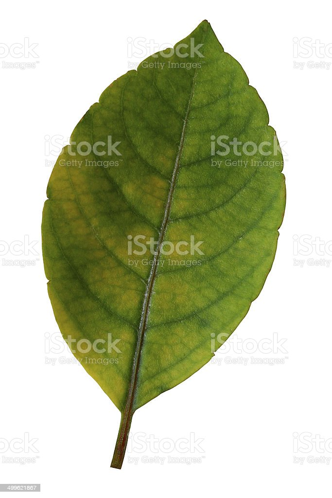 Leaf isolate white background royalty-free stock photo