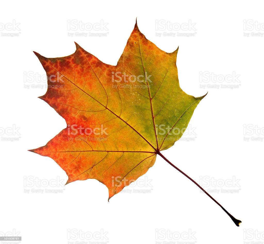leaf isolated on white background royalty-free stock photo