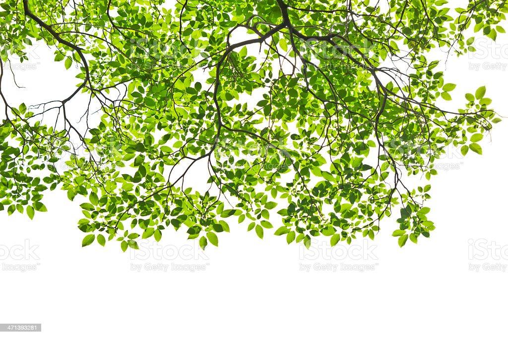 Foglia isolato su sfondo bianco foto stock royalty-free