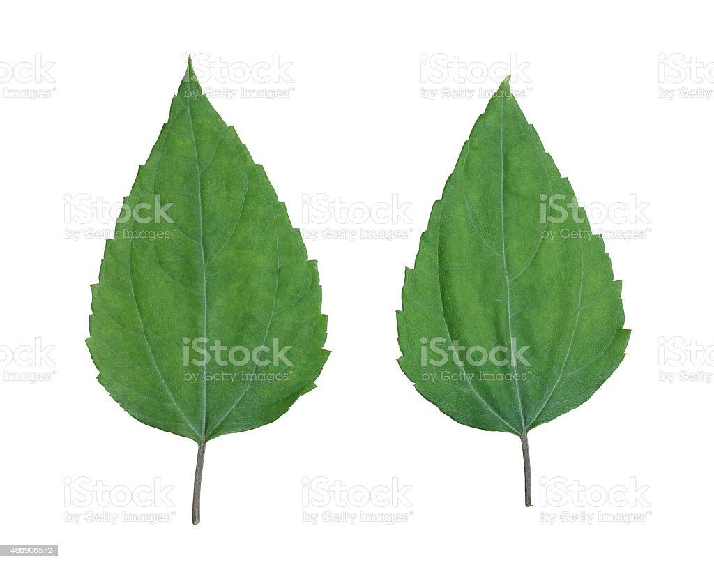 leaf isolated on white background stock photo