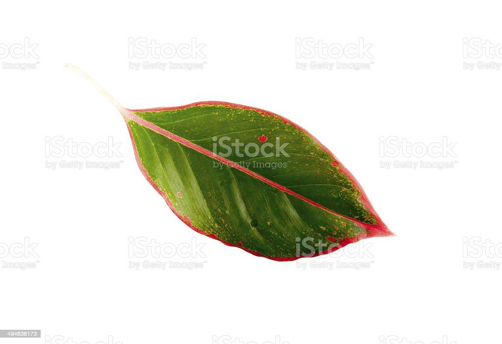 Leaf isolated stock photo
