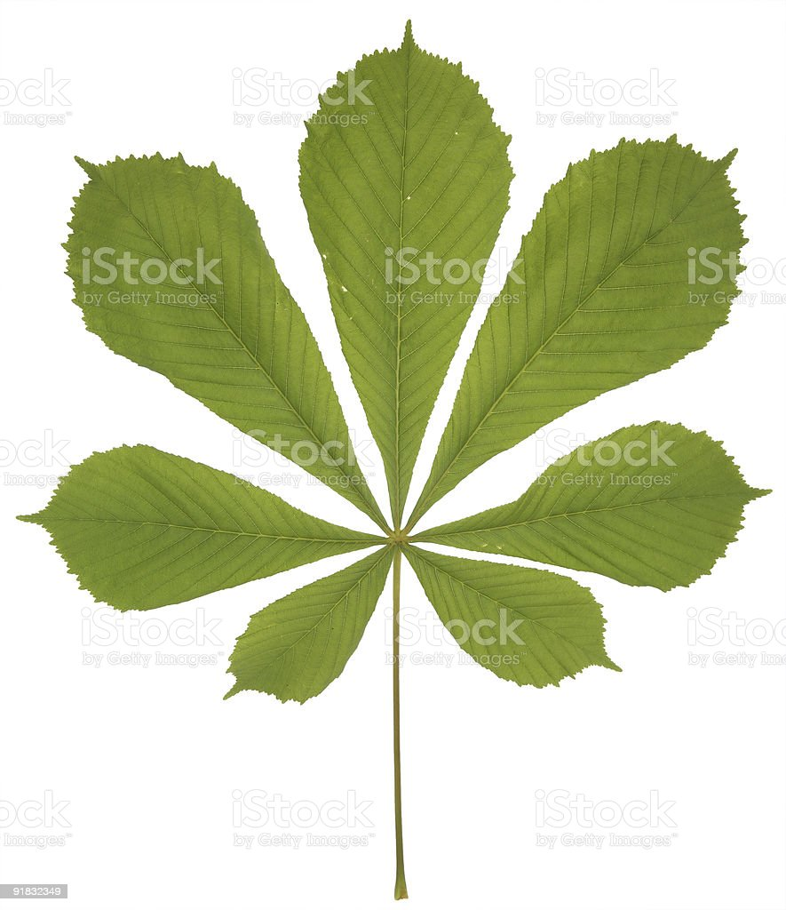 leaf isolated stock photo
