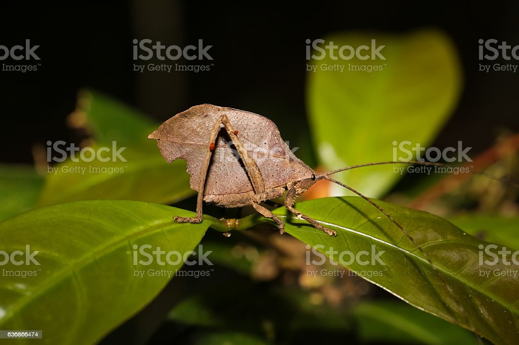 Leaf Katydid stock photo