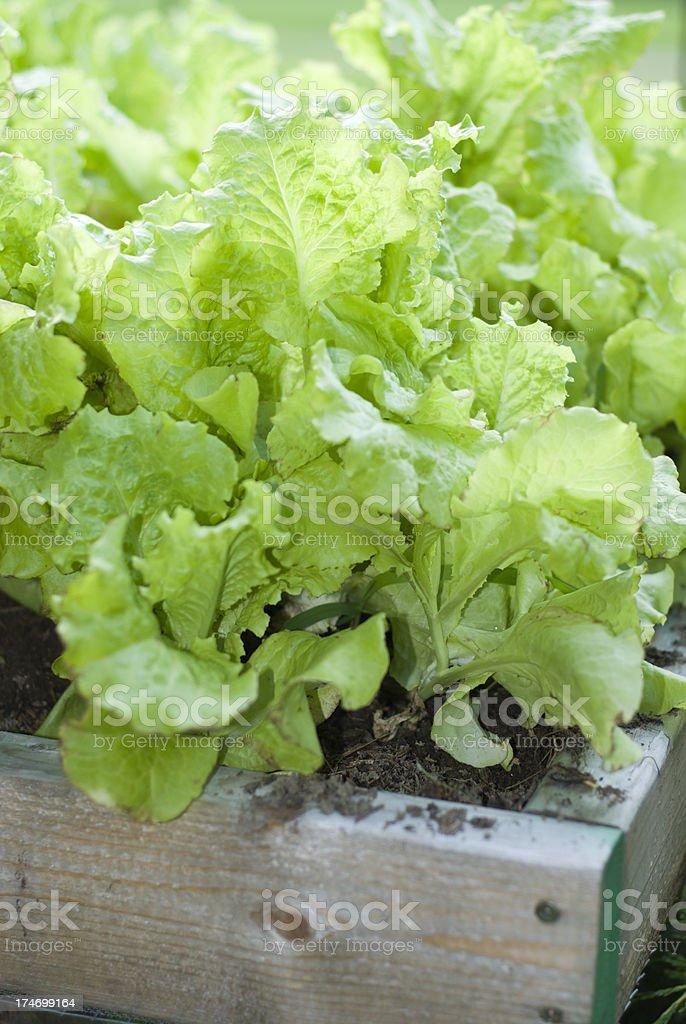 Leaf Lettuce royalty-free stock photo