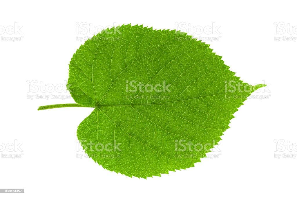 Leaf linden stock photo