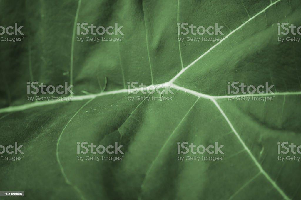 Leaf Macro tetrapanax stock photo
