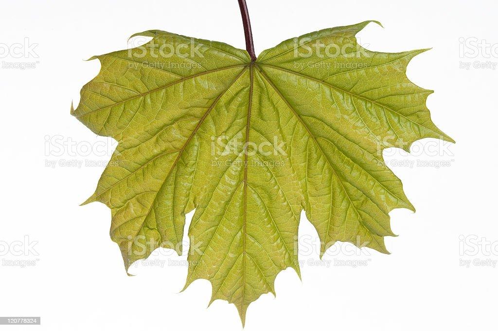 Leaf maple stock photo