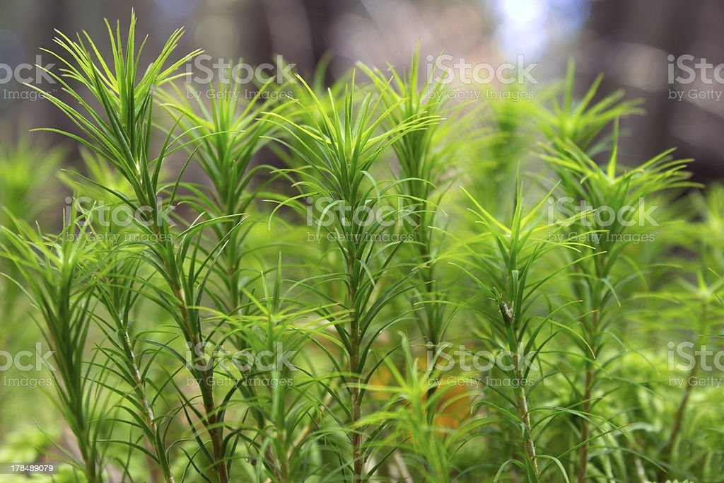 Leaf moss closeup royalty-free stock photo