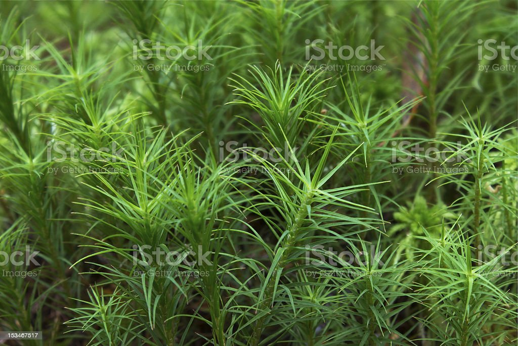 Leaf moss royalty-free stock photo