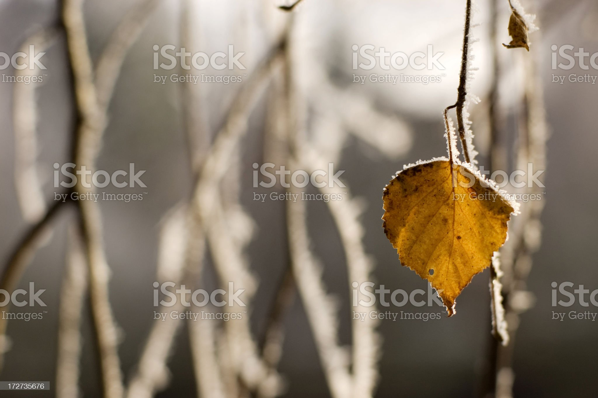 Leaf of a Birch Tree in the Winter royalty-free stock photo