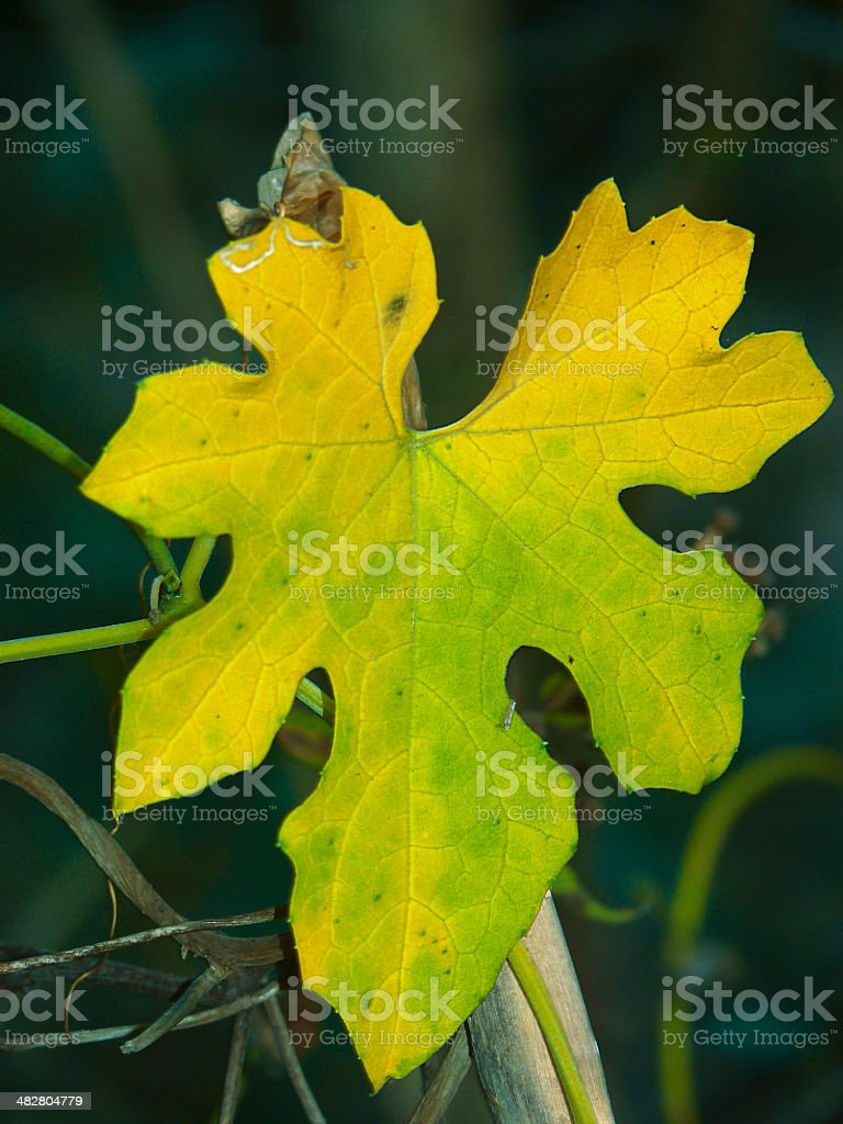 Leaf of a Bitter Gourd, Momordica Charantia royalty-free stock photo