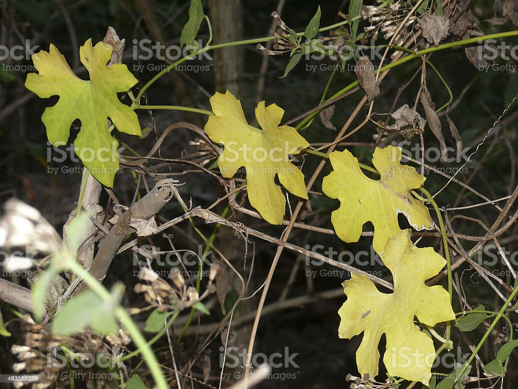 Leaf of a Bitter Gourd, Momordica Charantia stock photo