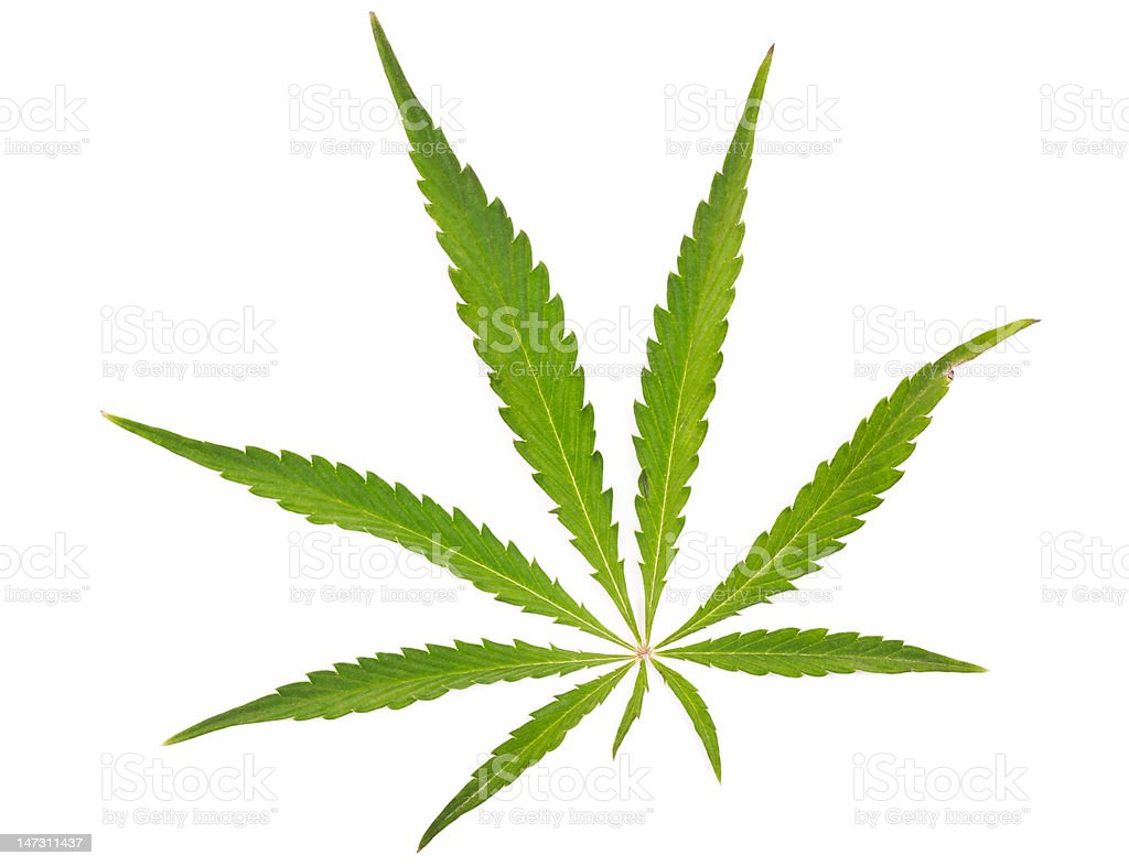 Leaf of a Cannabis plant stock photo