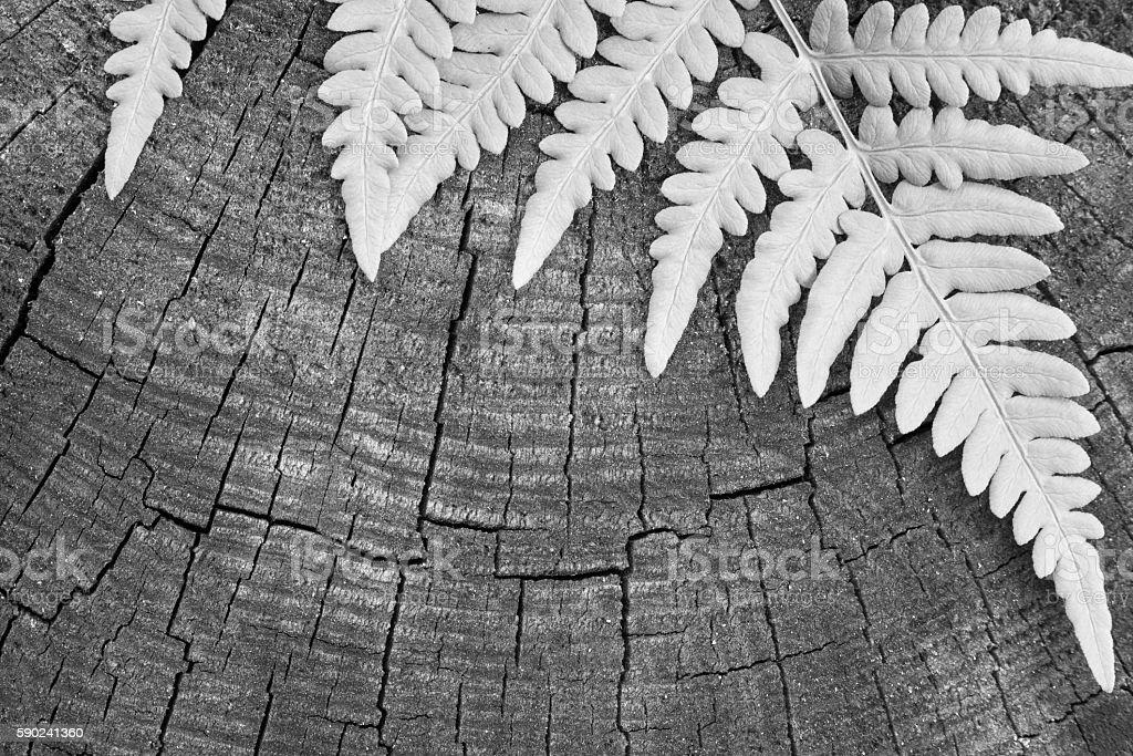 leaf of a fern monochrome gray tone stock photo