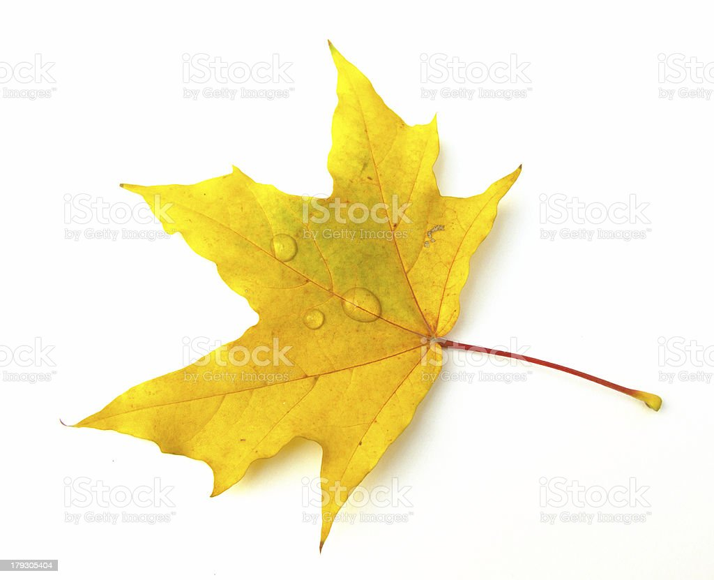 Leaf of a maple royalty-free stock photo