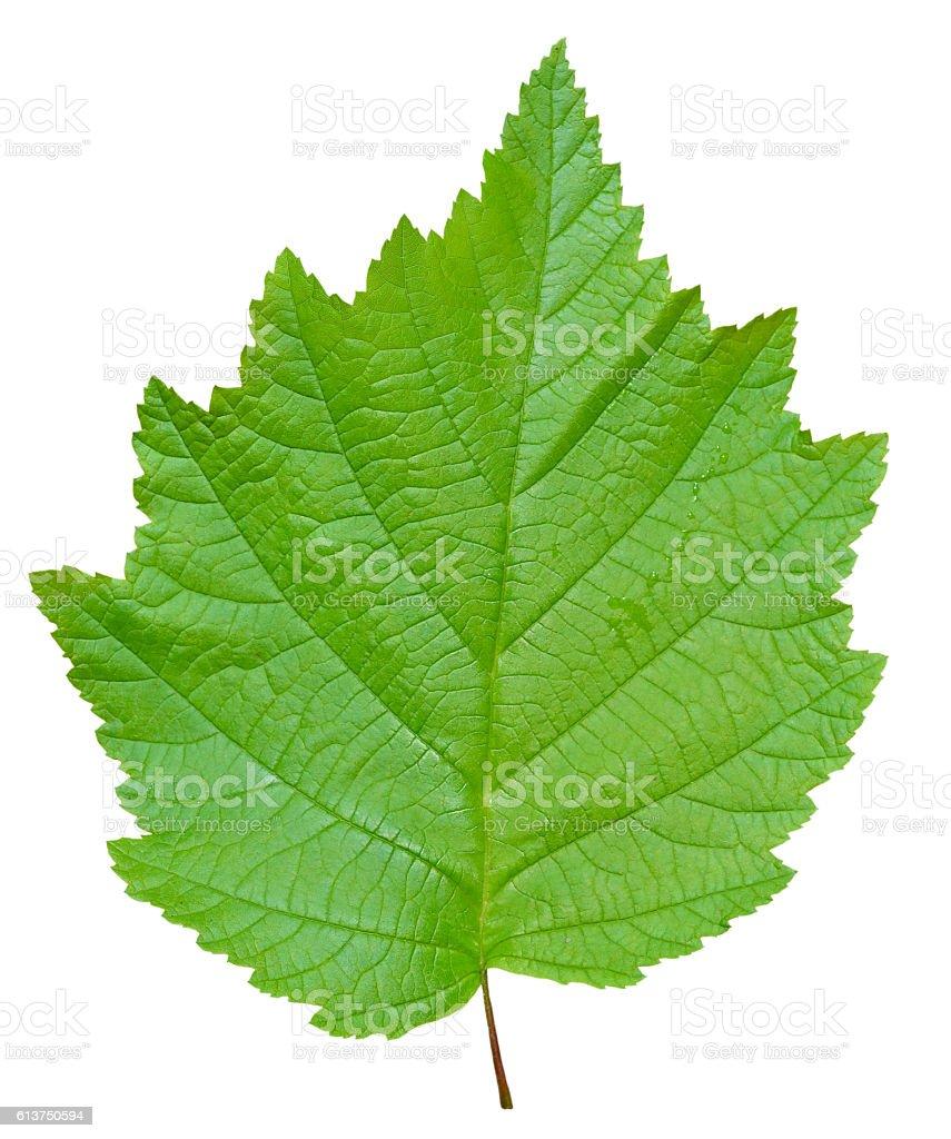 Leaf of alder stock photo
