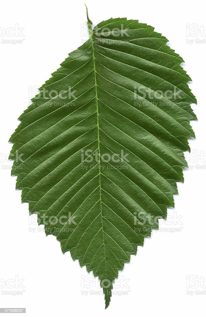 Leaf American Wiąz zbiór zdjęć royalty-free