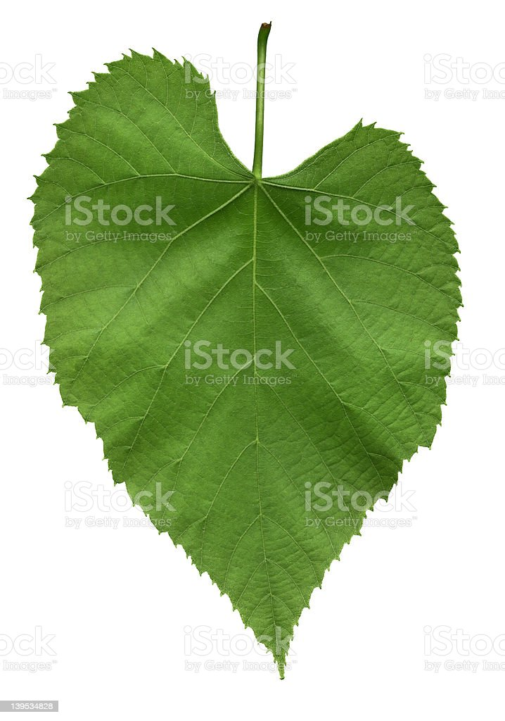 Leaf of American linden tree stock photo
