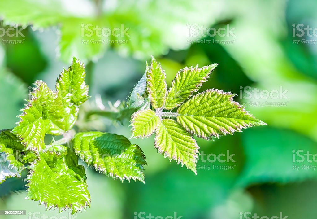 leaf of an blackberry stock photo