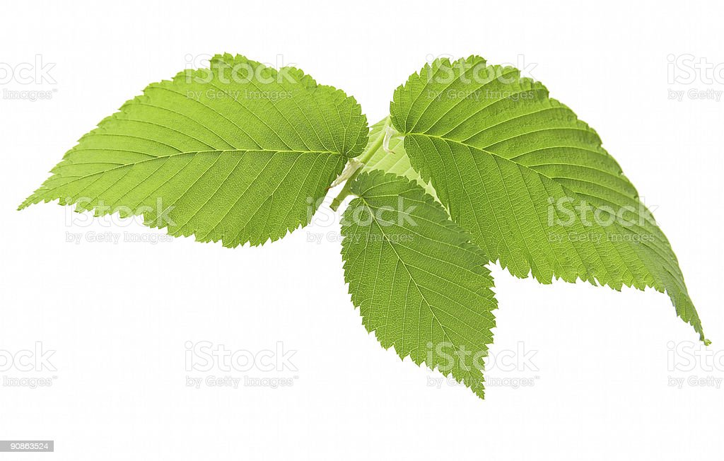 Leaf of an elm 2 royalty-free stock photo