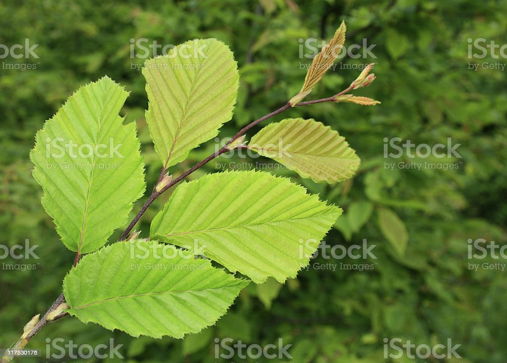 Leaf of an elm royalty-free stock photo