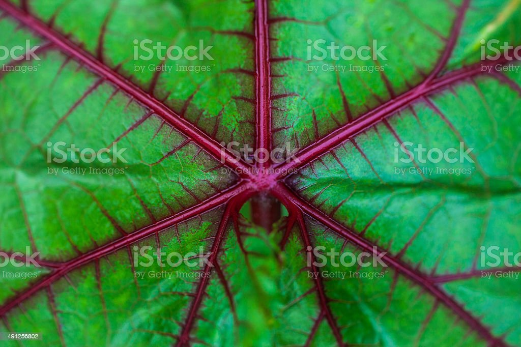 Leaf of an okra plant stock photo