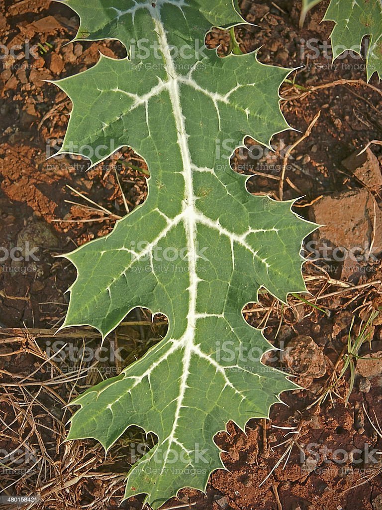 Leaf of Argemone mexicana L., Papaveraceae stock photo