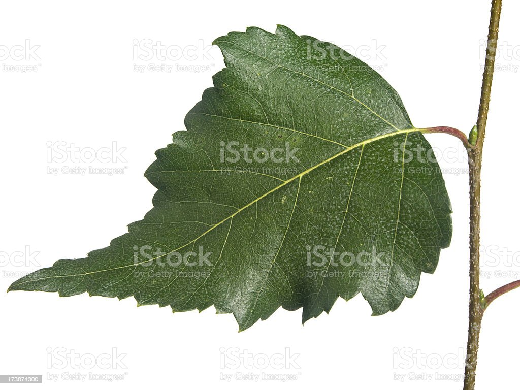 Leaf of birch stock photo