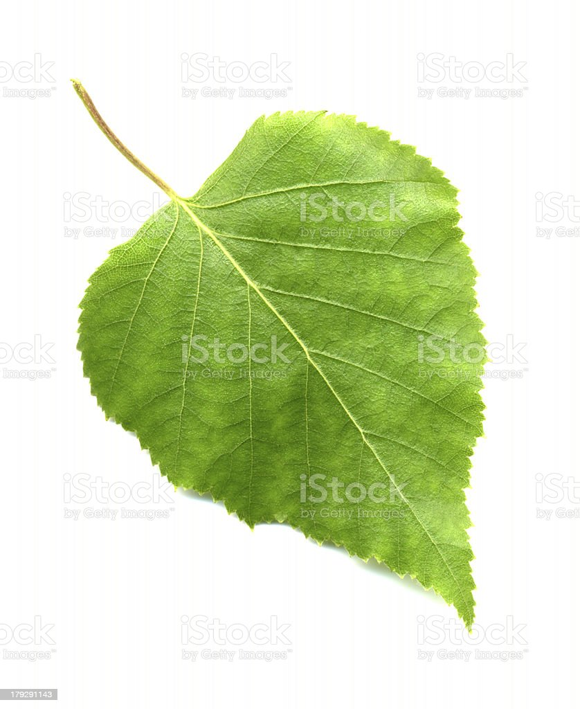 Leaf of birch stock photo
