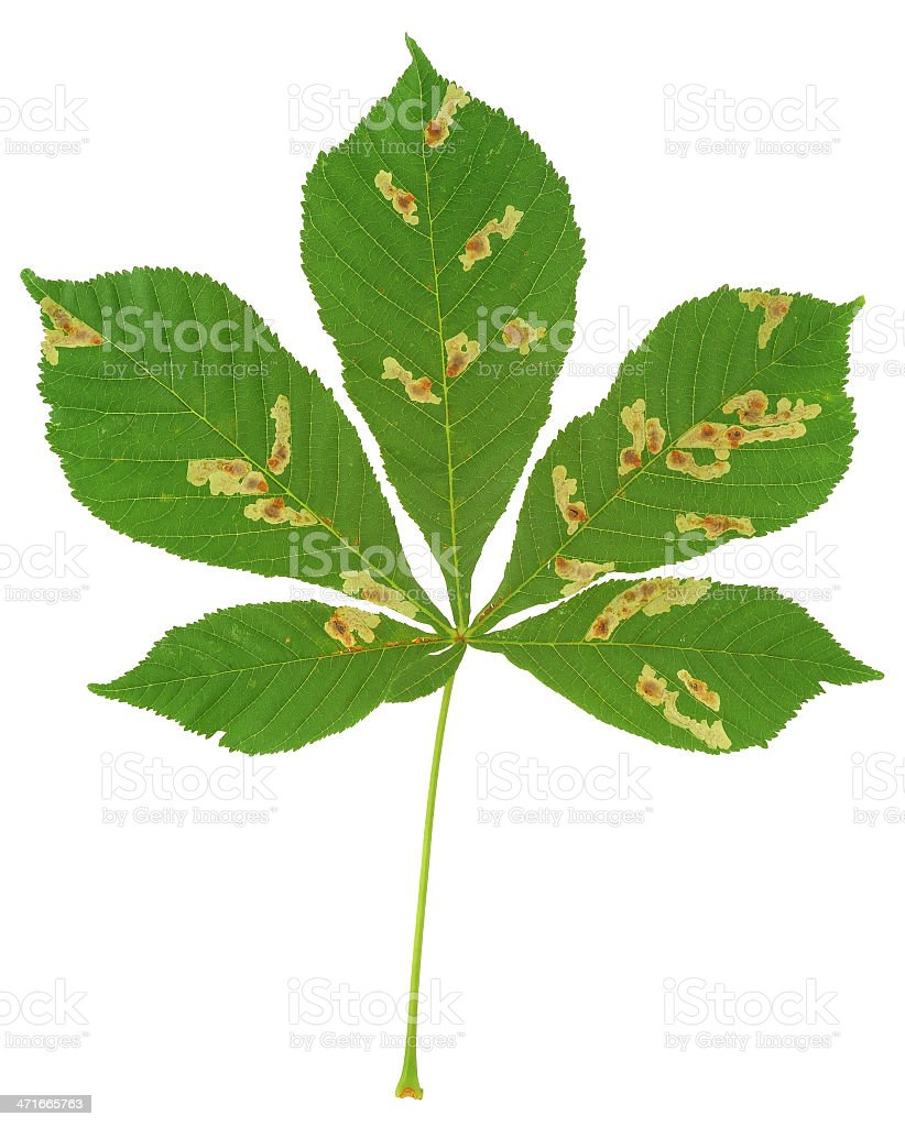 Leaf of chestnut tree attacked by horse-chestnut miner, Cameraria ohridella royalty-free stock photo