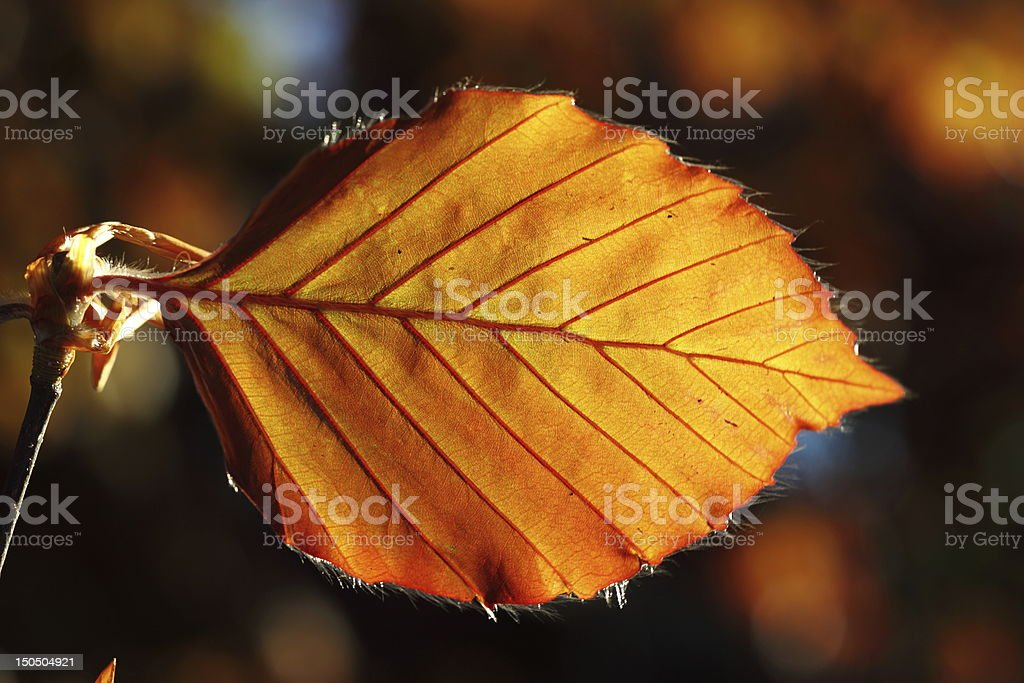 Leaf of Copper beech in the spring stock photo