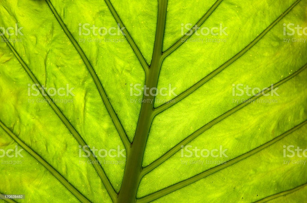 leaf of cymbling, backlighted royalty-free stock photo