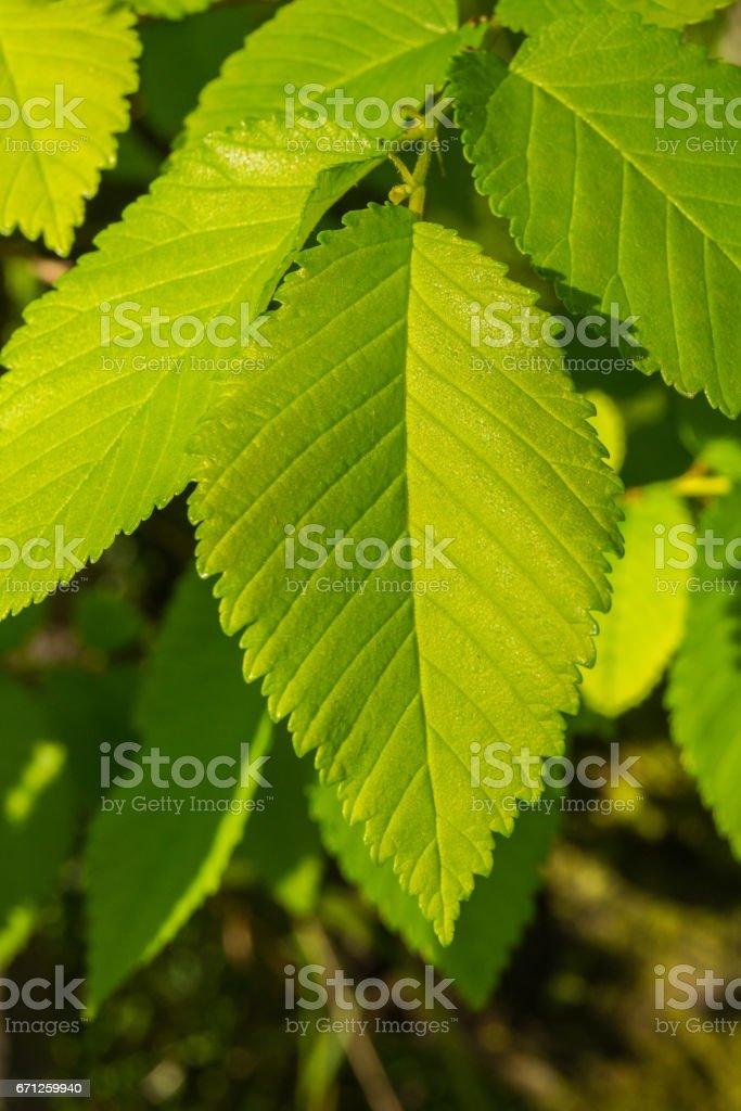 Leaf of elm. stock photo