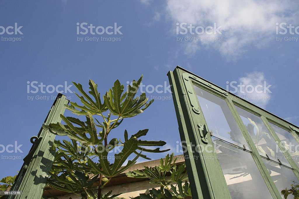 Leaf of Fig royalty-free stock photo