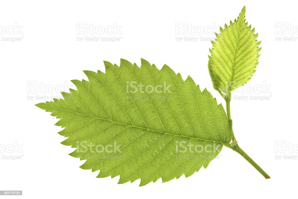 Leaf of forest nut stock photo