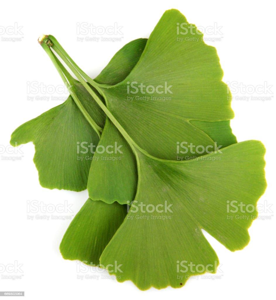 Leaf of Ginkgo biloba stock photo