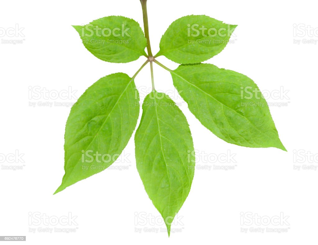 Leaf of ginseng stock photo