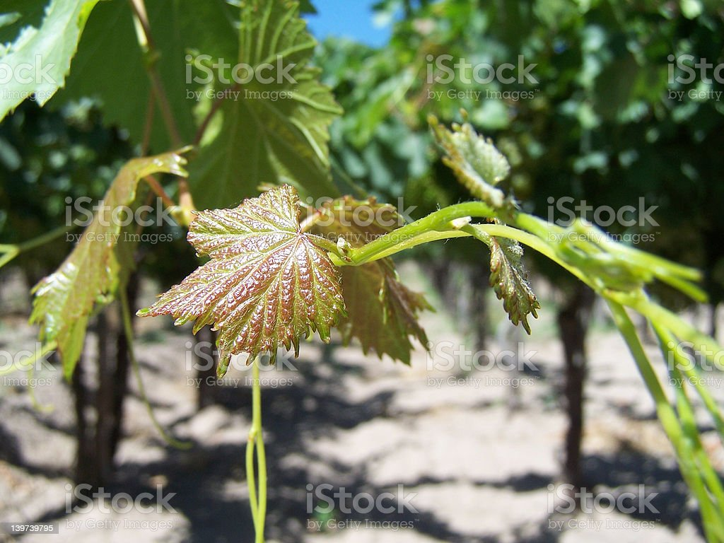 leaf of grape royalty-free stock photo