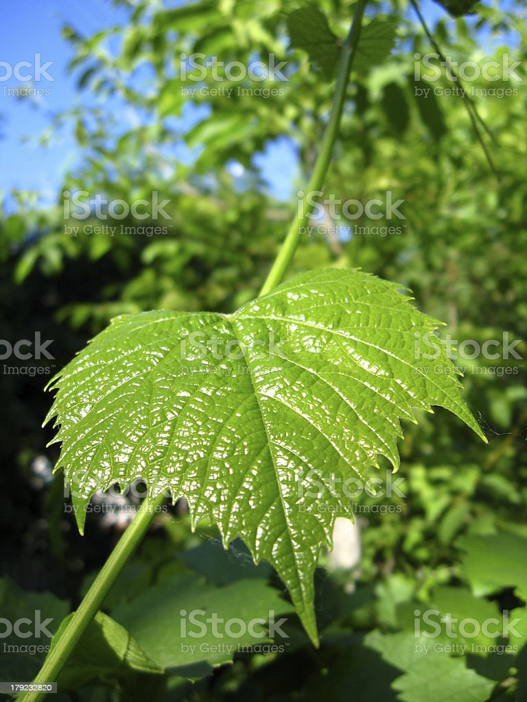 Leaf of grapes royalty-free stock photo