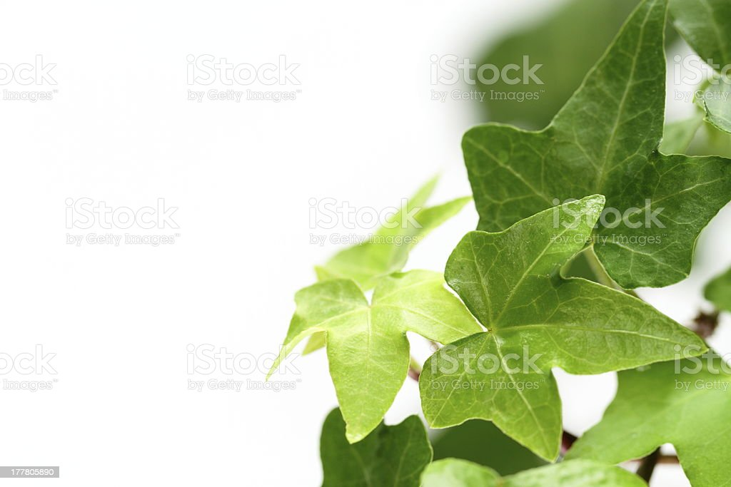 Leaf of green ivy stock photo