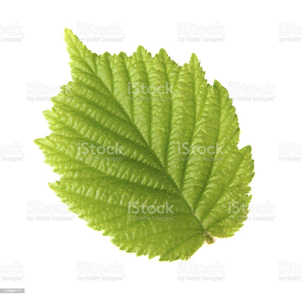 Leaf of hazelnut stock photo