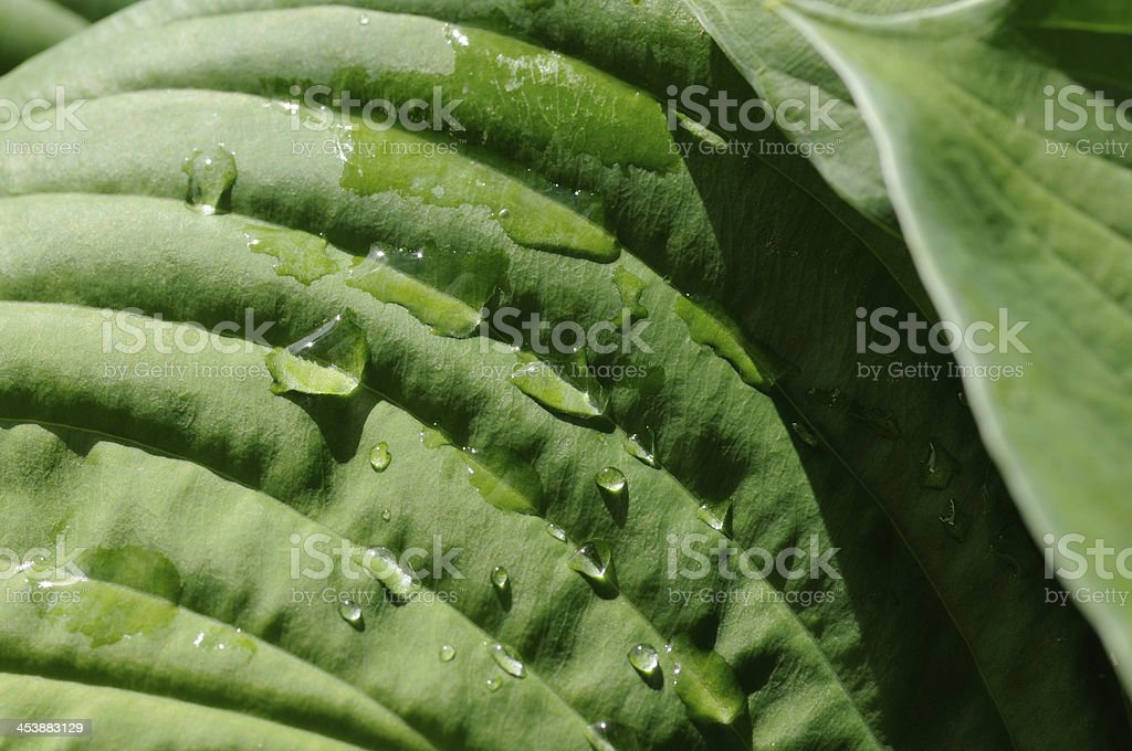 Leaf of hosta royalty-free stock photo