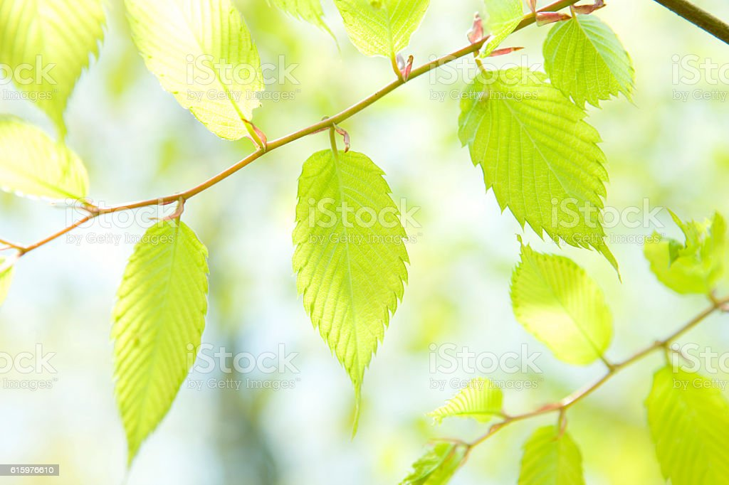 Leaf of Japanese beech stock photo