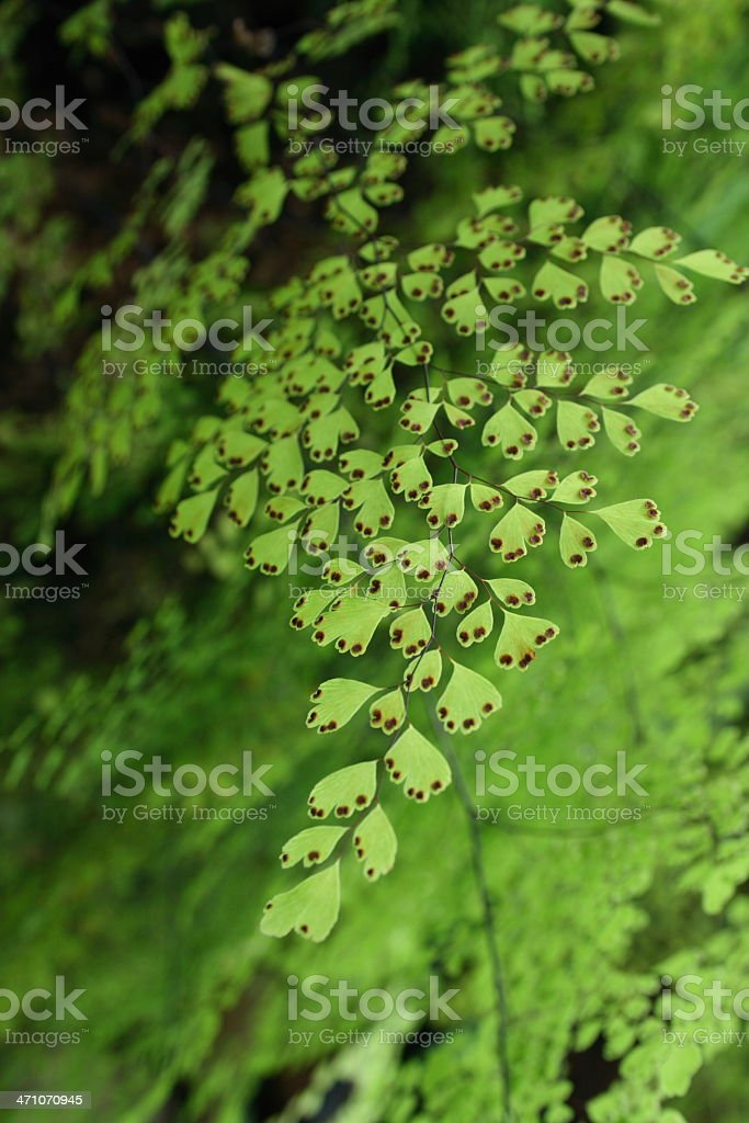 leaf of maidenhair fern royalty-free stock photo