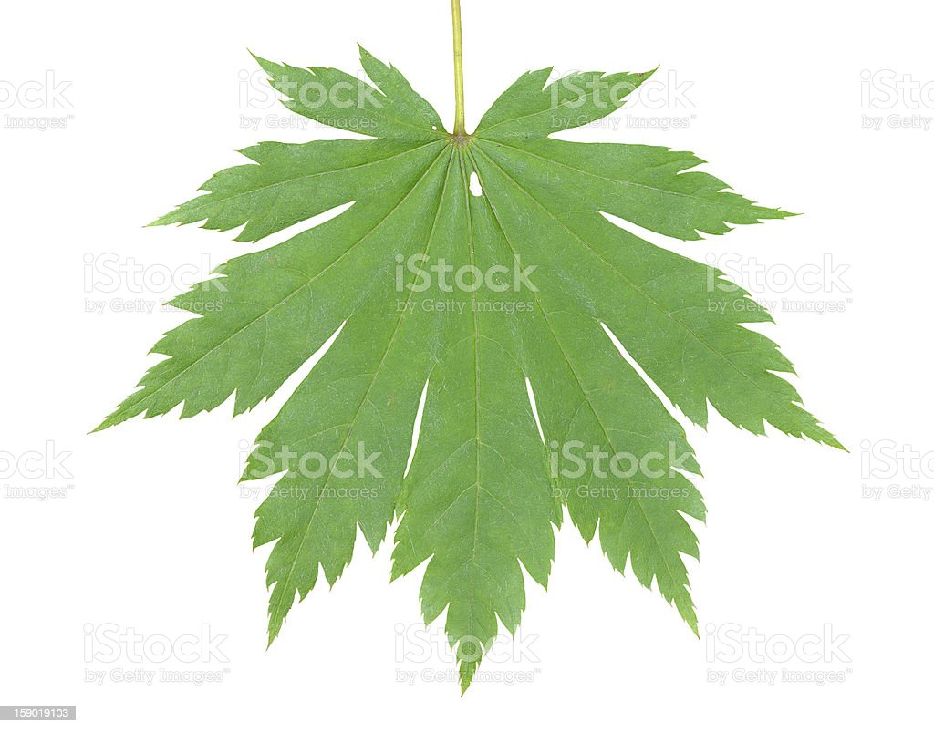 Leaf of maple royalty-free stock photo
