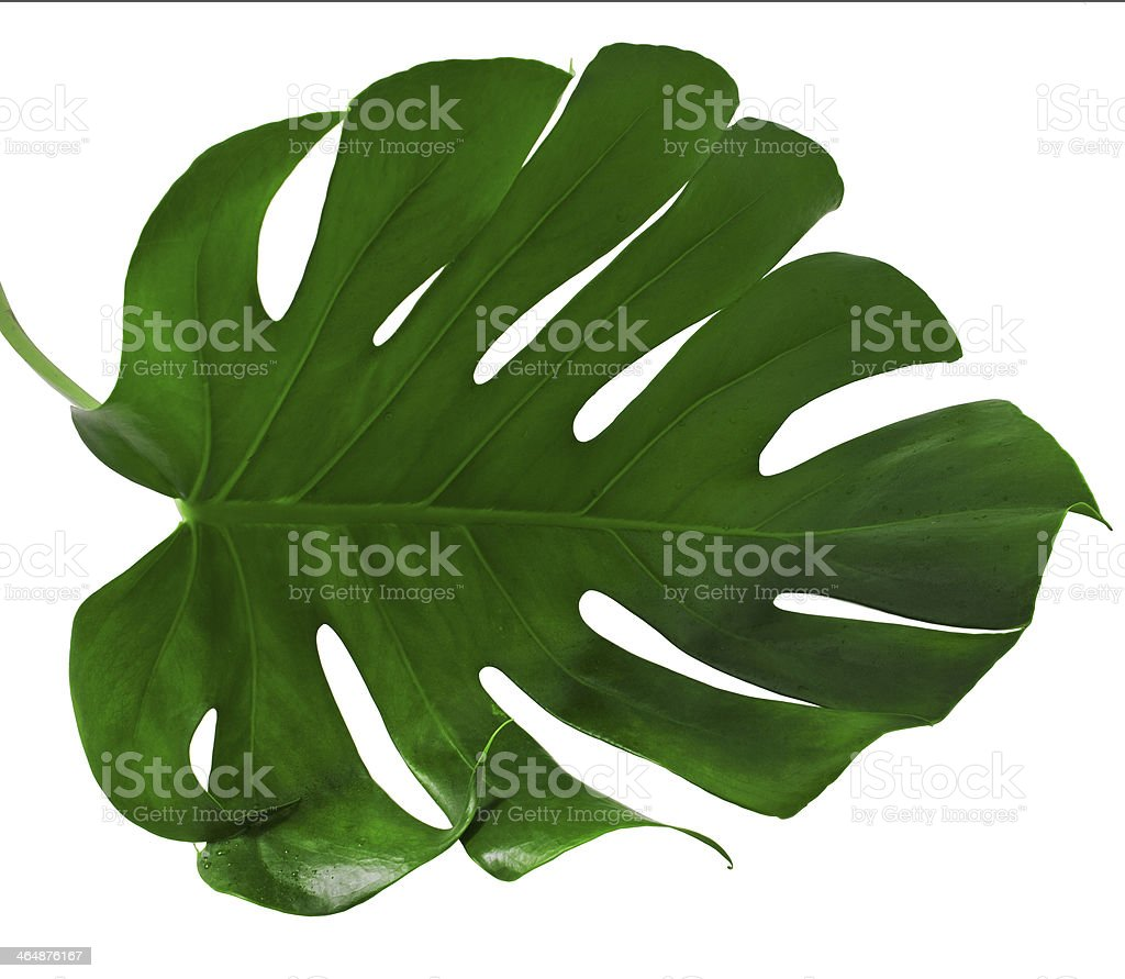 Leaf of Monstera plant stock photo