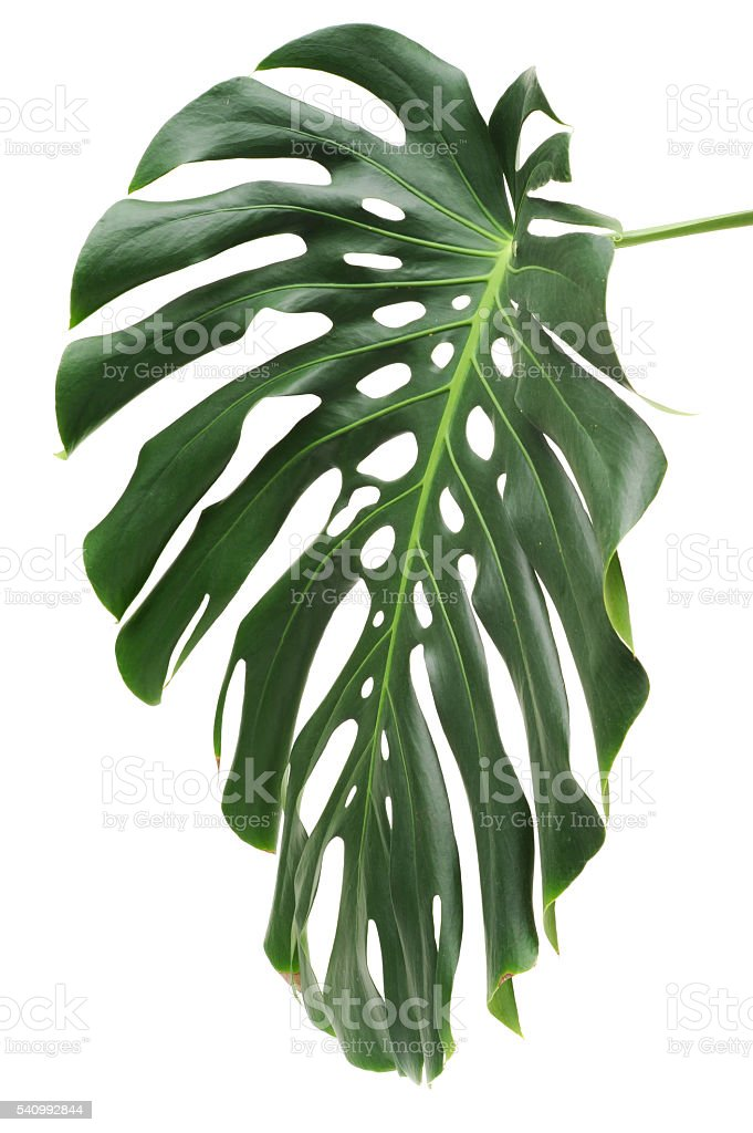 Leaf of Monstera plant. stock photo